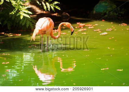The pink Caribbean flamingo goes on water. Pink flamingo goes on a swamp.