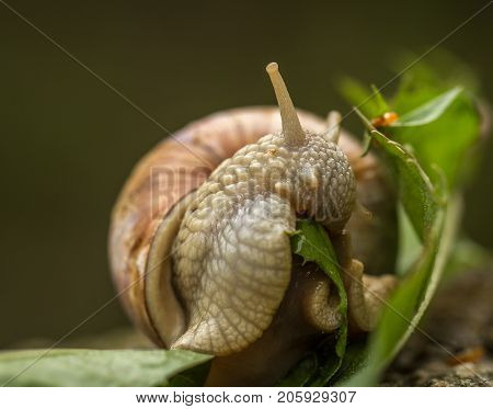 Roman Snail Aka Burgundy Snail - Helix Pomatia - Eating A Green Leaf
