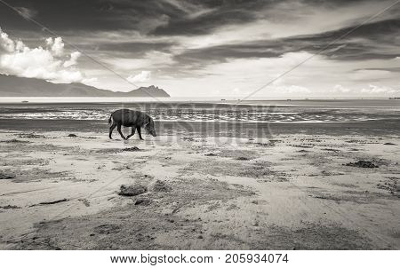 Bornean bearded pig Sus Barbatus on Bako national park beach searching for food in the sand, Kuching, Malaysia, Borneo, black and white version