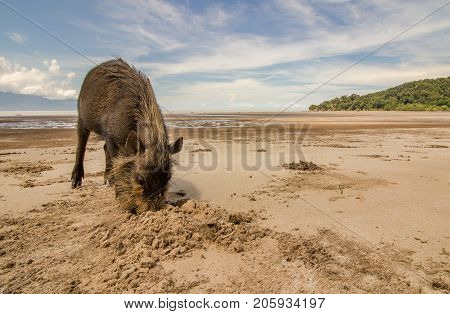 Bornean bearded pig Sus Barbatus on Bako national park beach searching for food in the sand, using its snout to dig for scallops. Kuching, Malaysia, Borneo