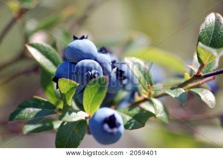 Wild Blueberries (Vaccinium Myrtilloides)