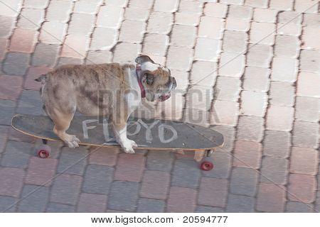 Floyd the dog on his skateboard