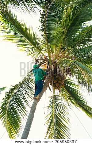 black man on a palm tree chops off branches.