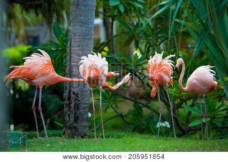 A pink Caribbean flamingo in the garden