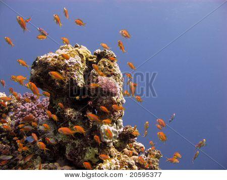 Anthias im Roten Meer