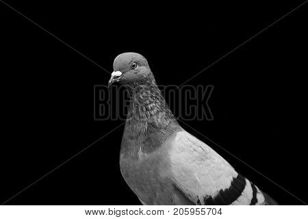 Graceful dove on a black background. The bird's eyes. Doves a symbol of peace.