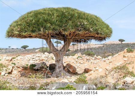 Endemic Dragon Tree Of Socotra Island