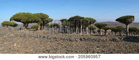 Endemic Dragon tree of Socotra Island on Yemen