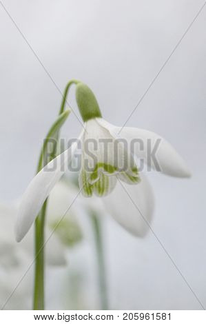 Winter Snowdrops with selective focus in a vertical format