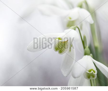 Beautiful white Snowdrops bringing winter cheer at the start of springtime. Galanthus Nivalis