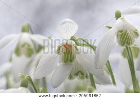 Snowdrops. Galanthus nivalis, the snowdrop or common snowdrop, is the best-known and most widespread of the 20 species in its genus