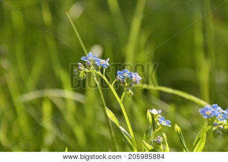the little blue forget-me-not. Natural outdoors  background