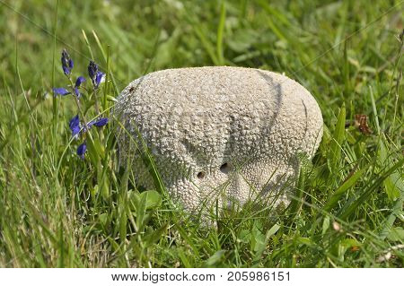 Giant puffball mushroom. A perfect big white round globe of a Giant puffball is glistening with dew as it nestles in the lush green grass in the field.
