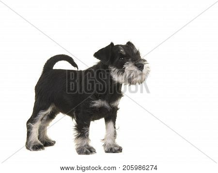 Black and grey mini schnauzer puppy standing seen from the side looking up isolated on a white background