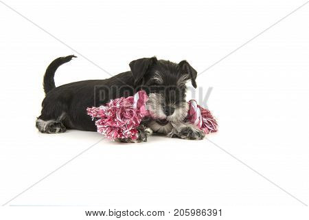 Black and grey mini schnauzer puppy lying on the floor chewing on a pink and white woven rope toy seen from the side isolated on a white background