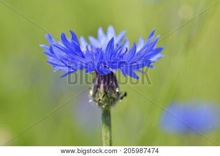 Beautiful wildflowers cornflowers. Natural outdoors  background