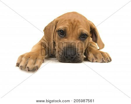 Cute boerboel or South African mastiff puppy seen from the front lying down with its head on the floor and facing the camera on a white background