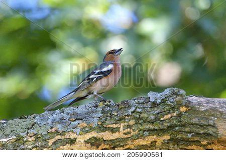 Chaffinch (fringilla Coeleb) Perched On A Branch