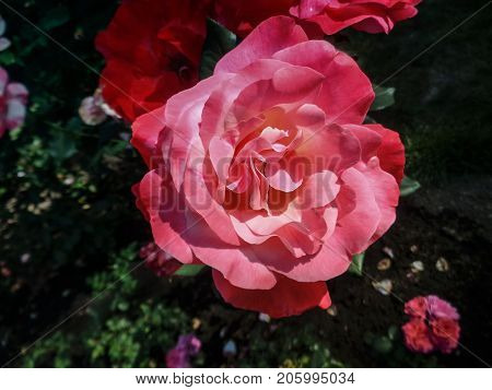 Pink garden rose. Pink rose. Rose background. Pink rose background. Romantic background. Lovely pink rose. Rose. Garden rose. Rose background. Park rose.