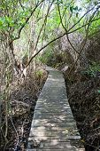 Footbridge in Boardwalk part of Mastic Trail. Mastic Trail is forest walking path in Mastic Reserve of Grand Cayman Cayman Islands (British Overseas Territory) poster