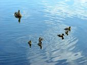 The family of six newborn ducklings together with mother duck. poster