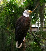 portrait of the American eagle sitting on the tree poster