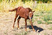 Portrait of a brown foal was covered with flies rural landscape. Muzzle of a foal. Brown foal. Small horse. poster