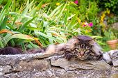Huge Maine Coon cat in garden looking away with tension while hunting. poster