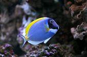 Powder-Blue Sergeonfish Scientific Name: Acanthurus leucosternon in aquarium. poster
