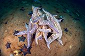 Starfishes Pairing on Sea Floor In Late October, Sea Of Japan, Russia poster