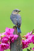 Female Eastern Bluebird (Sialia sialis) on a fence with azalea flowers poster