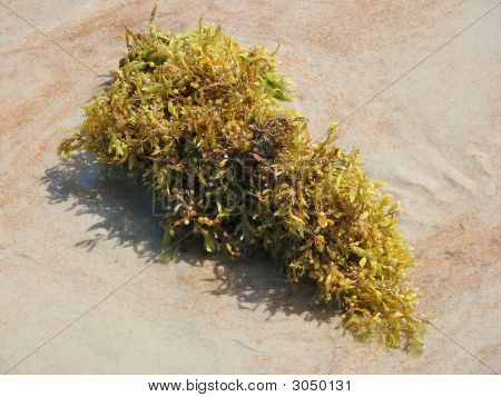 Clump Of Seaweed
