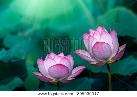 The Bud Of A Lotus Flower.background Is The Lotus Leaf And Lotus Flower And Lotus Bud And Tree.shoot
