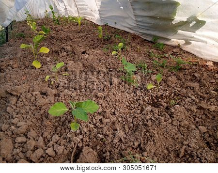 Eggplant In The Greenhouse To Grow. Growing Eggplants In Greenhouses.