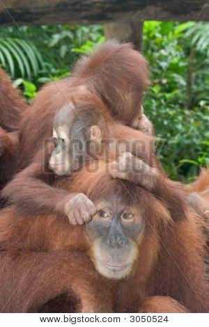 Orangutan (organg gutang) family in zoo photo poster
