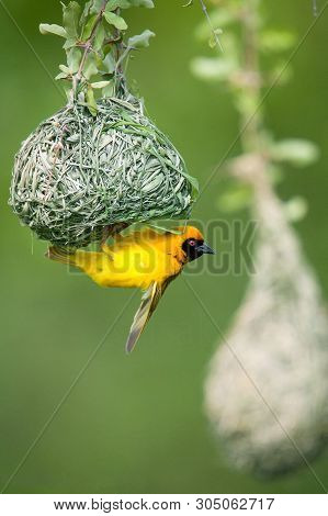 Southern Masked Weaver Or African Masked Weaver (ploceus Velatus), Resident Breeding Bird Species Co