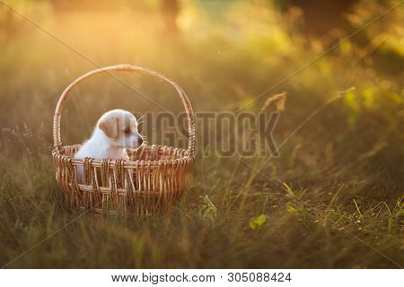 Cute Puppy Sitting In A Wicker Basket At Sunset In The Forest. The Concept Of Friendship, Happiness,
