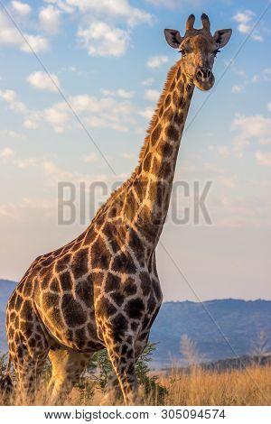 Giraffe Closeup With Blue Sky  In Pilanesberg