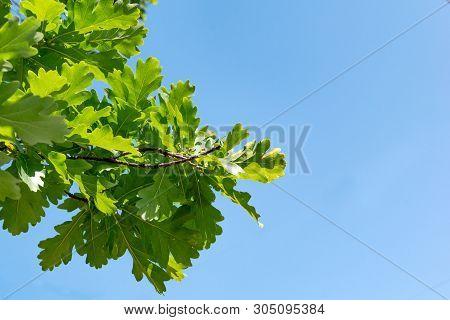 Stock Photo Leaves Of The Oak Tree Against Blue Sky