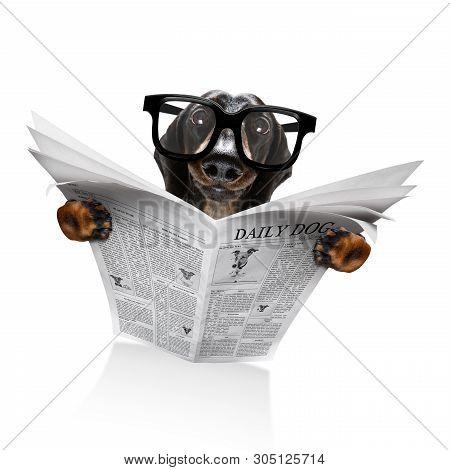 Dachshund Sausage Dog Reading A Newspaper Magazine Isolated On White Background
