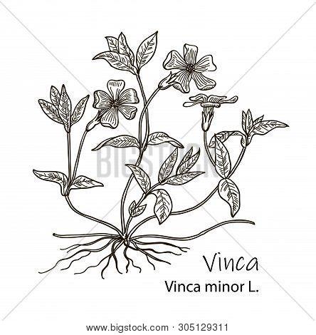 Periwinkle Or Vinca Minor, Vintage Engraved Illustration. More Realistic Botanical Illustration. Ima