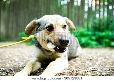 Mixed Breed Dog On Leash Lying On Ground Outdoor And Eating Titbit, Details Of Biting A Dainty