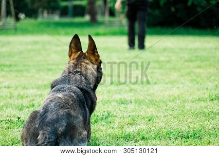 German shepherd the dog waiting to obey command from his handler, owner poster