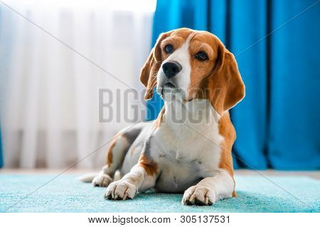 Dog On Carpet. Beagle Dog At Clean Home. Dog In Modern Apartment. Lonely Pets At Home Concept.