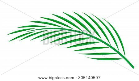 Coconut Palm Leaf Isolated On White Background, Coconut Stem, Clip Art Of Plam Tree Leaf Green, Cyca