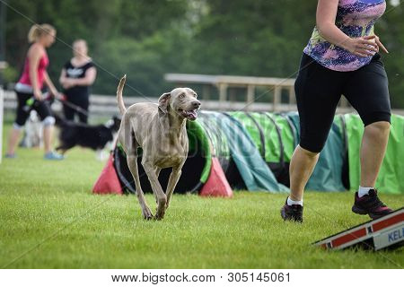 Dog weimaraner is running on agility competition. Amazing day on czech agility competition. They are middle expert it means A2. poster