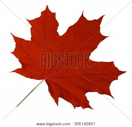 Red Maple Leaf Isolated On White. Clipping Path Included.