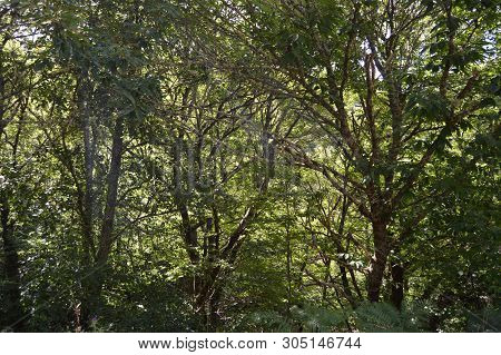 Jungle Of Eucalyptus Trees The Mountains Of Galicia Fill Of Valleys Forests Of Pines Meadows And For
