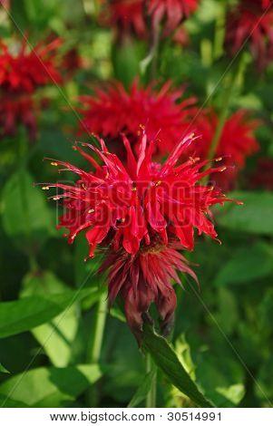 Flowering bee balm plants, also called as Monarda