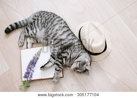 poster of Home pet cute kitten cat lying at home. Cute Scottish straight cat indoors. Cat Portrait. Cute cat  shooting